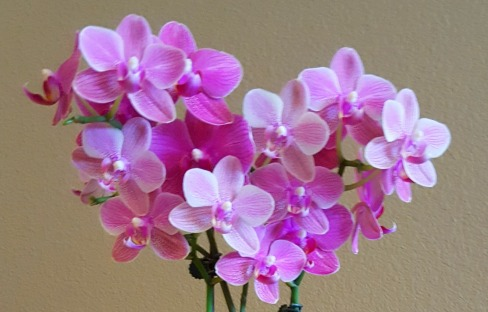 Ma's Orchid Blossoms